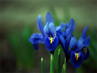 blue iris rich and beautiful